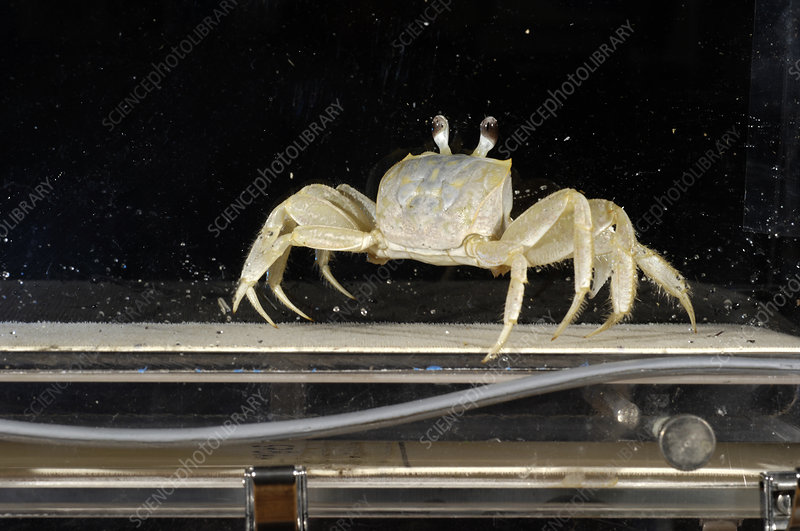 Crab locomotion research
