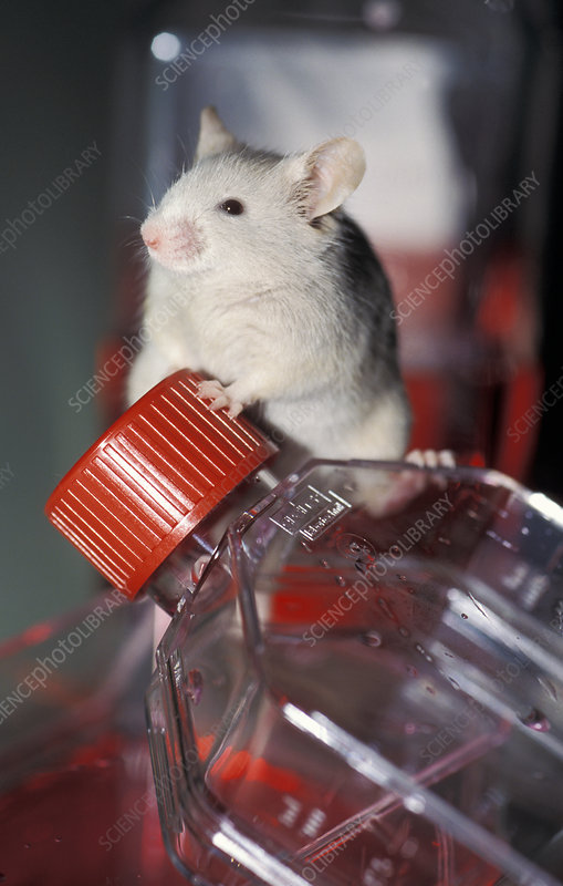 Laboratory mouse