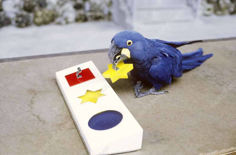 Hyacinth Macaw working a puzzle