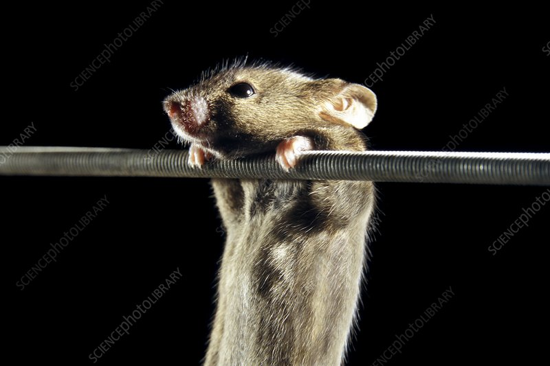 Gene therapy research on mice - Stock Image - G352/0327