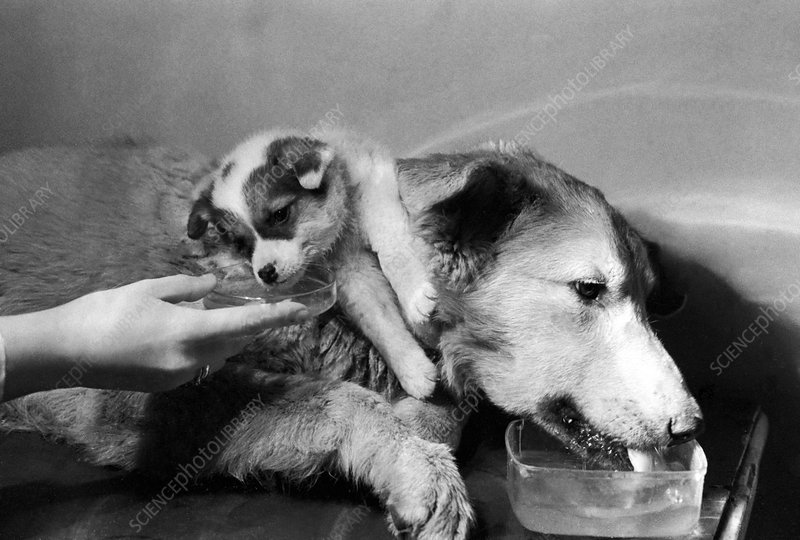 Demikhov's two-headed dog, 1967