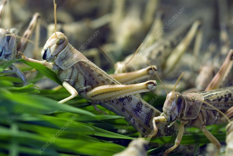 Plague locusts eating wheat seedlings