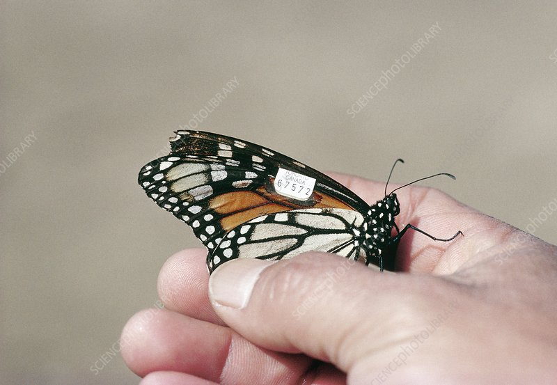 Tagged monarch butterfly in researcher's hand