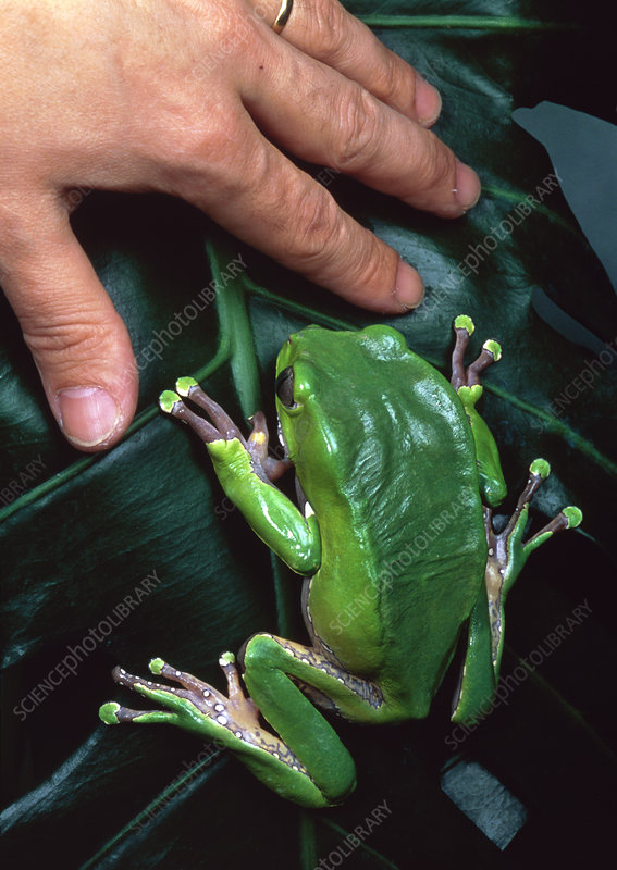 Hand next to a tree frog (Phyllomedusa bicolor)