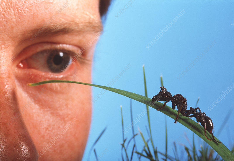 Male biologist's eye watches ant on grass