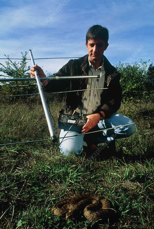 Biologist measures asp's temperature using antenna
