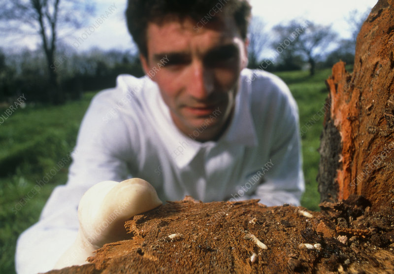 Researcher studying termites in a cherry tree