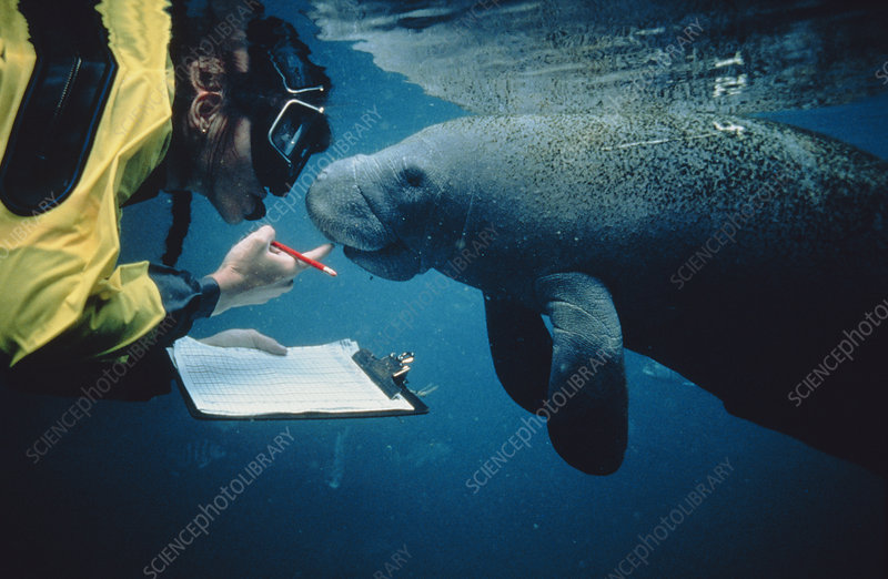 Marine biologist with manatee (Trichechus manatus)
