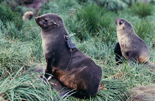Fur seal research