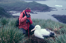 Wandering albatross breeding research