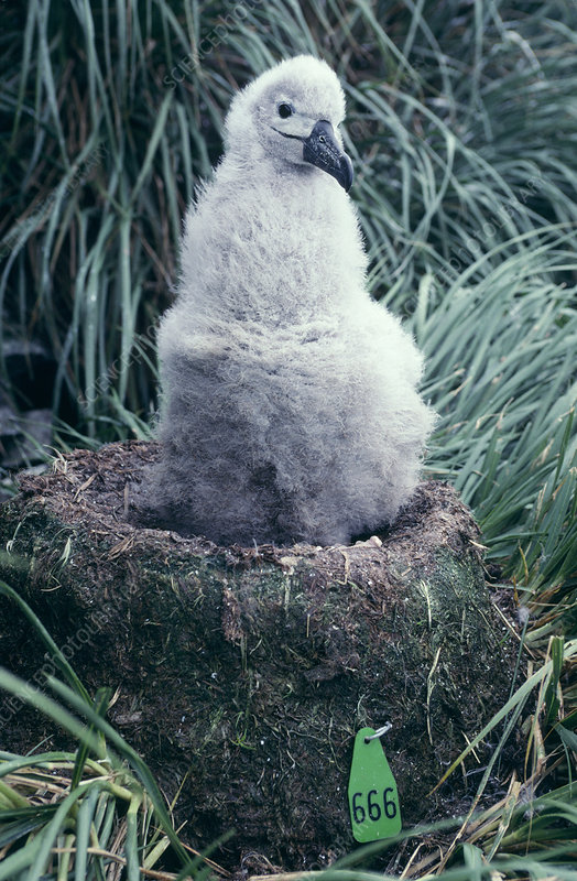 Numbered nest of albatross chick