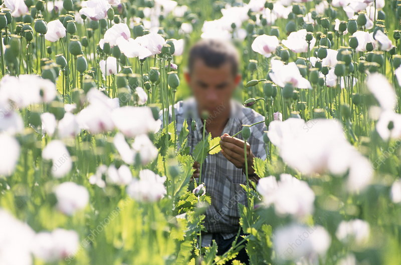 Researcher in a field of opium poppies