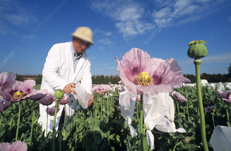Researchers in a field of opium poppies