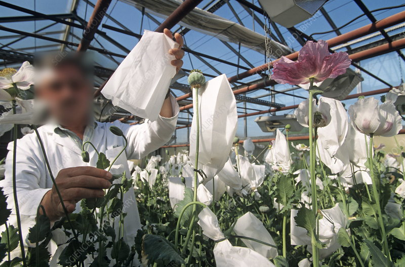 Researcher in a greenhouse of poppies