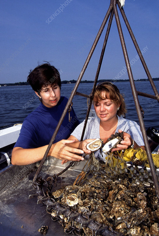 Oysters collected from the Chesapeake Bay