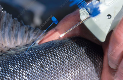 Tagging Coho Salmon
