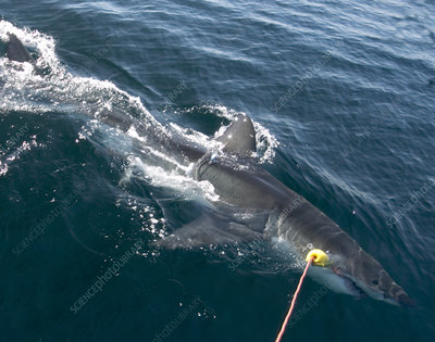 Great White shark research