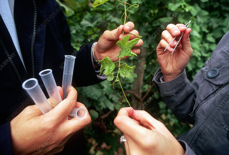 Vine samples for genetic research