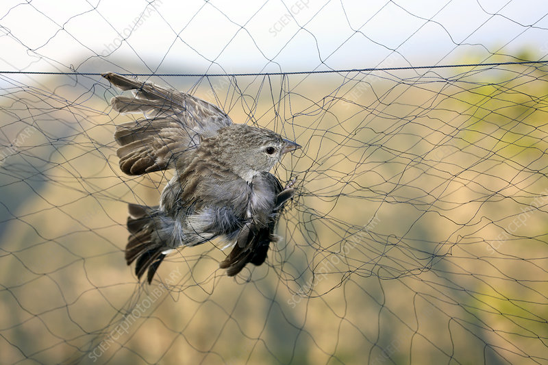 Bird trapping for biological research