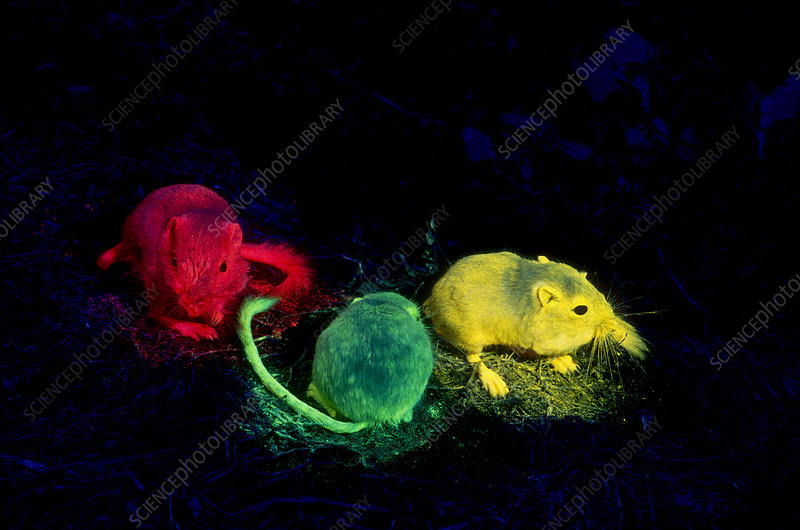 Tracking Kangaroo Rats with Fluorescence