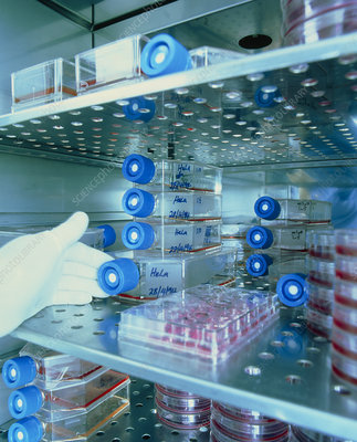 HeLa cell cultures in an incubation cabinet
