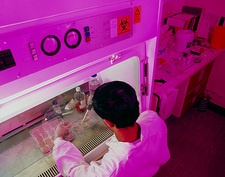 HeLa cell researcher at laminar flow cabinet