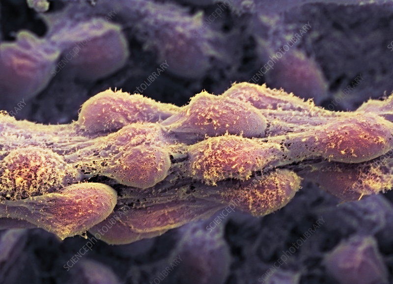 Embryonic stem cells, SEM