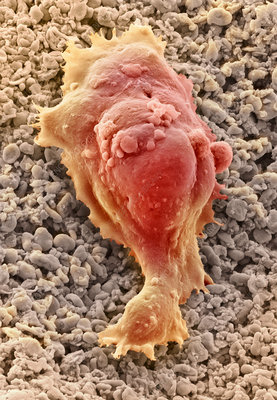 Human embryonic stem cell, SEM