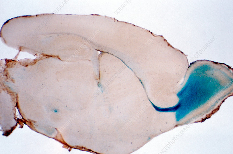 Chicken embryo brain, stem cell research