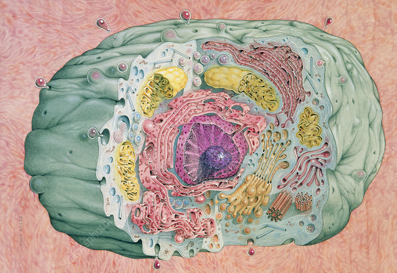 Illustration of an animal cell with internal view
