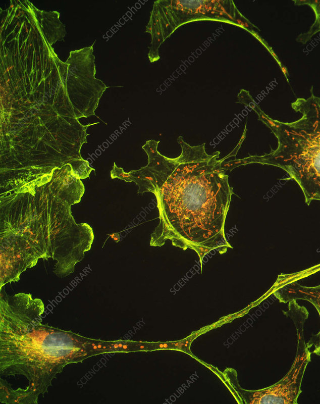 Human epithelial cells