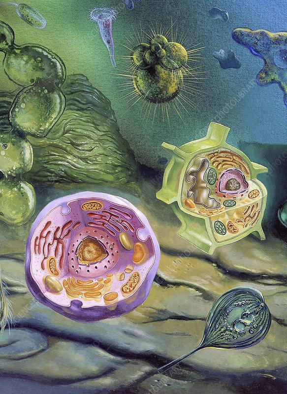 how do eukaryotes eat