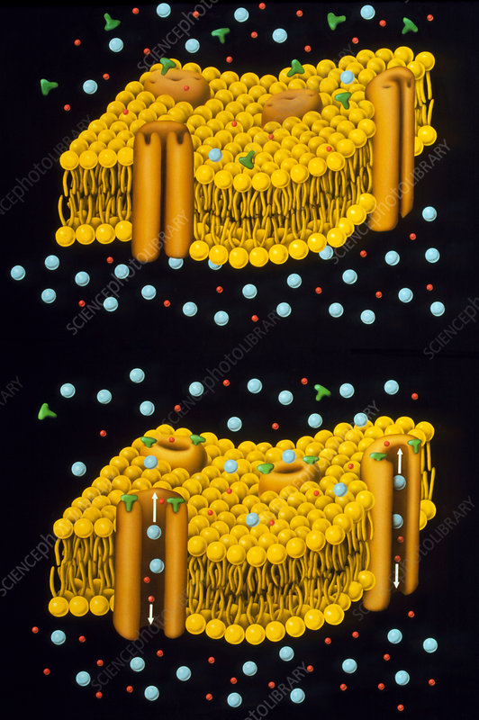 Illustration of ion chanels in plasma membrane