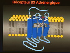 Obesity-linked cell membrane protein