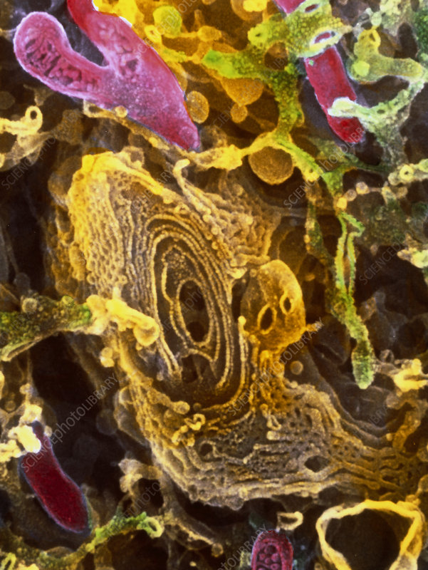Colour SEM of Golgi complex in olfactory bulb cell