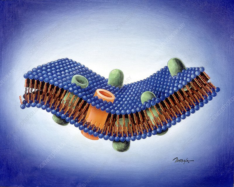 Cell membrane ion channels