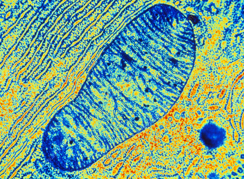 Coloured TEM of a mitochondrion