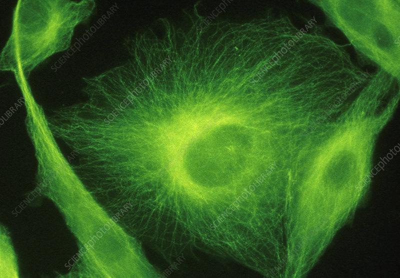 Ultraviolet fluorescence LM of BHK Cells