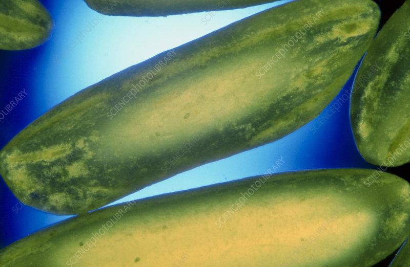 Macro photo of polished rice grains