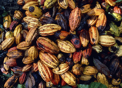 Freshly-harvested cocoa pods