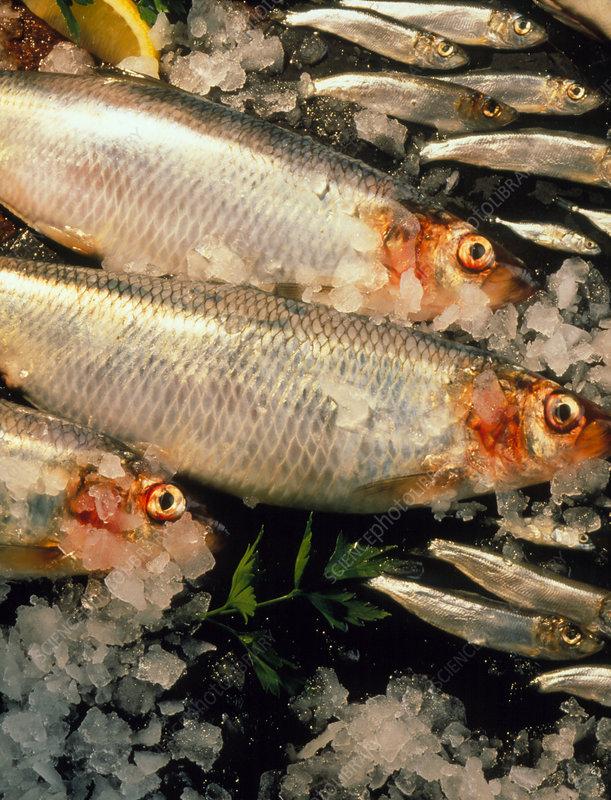 Whitebait and herring.