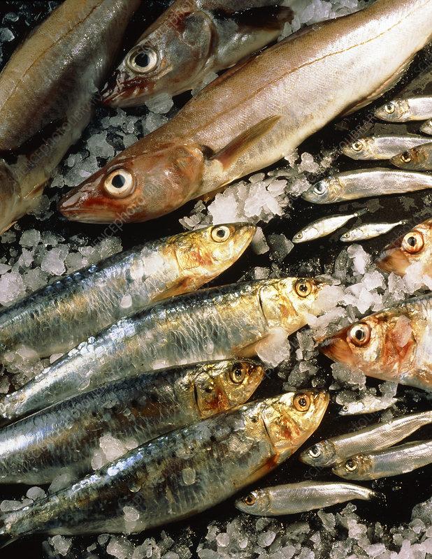 Whiting, sardines, whitebait and herring.