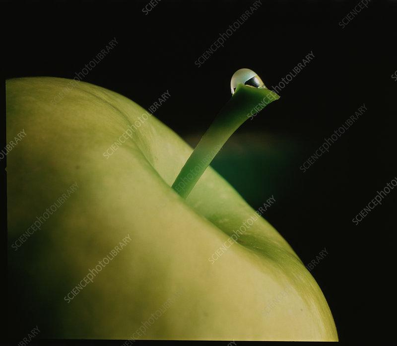 Drop of water on apple stalk