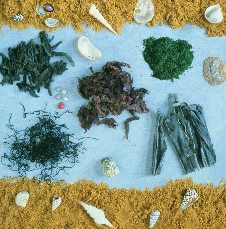 Assortment of dried edible seaweeds - Stock Image H110/0516