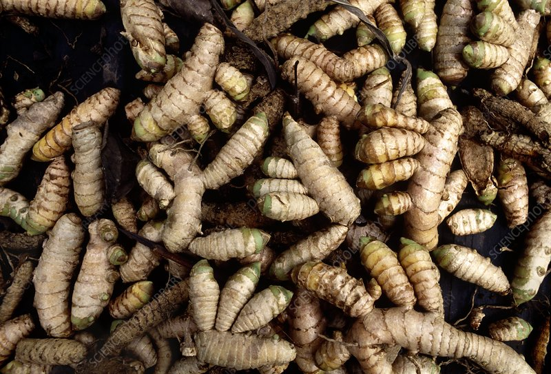 Rhizomes of cultivated ginger