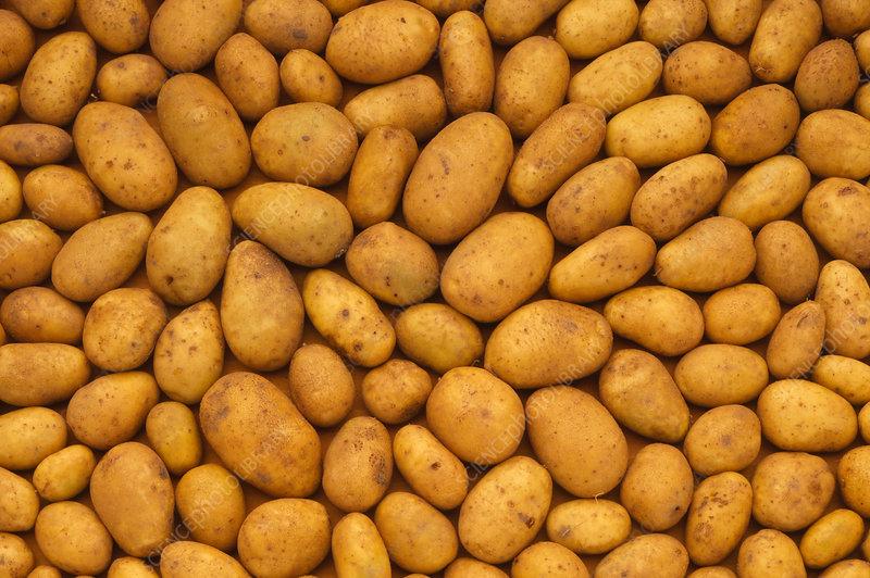 Raw potatoes: uncooked, unsliced, unpeeled