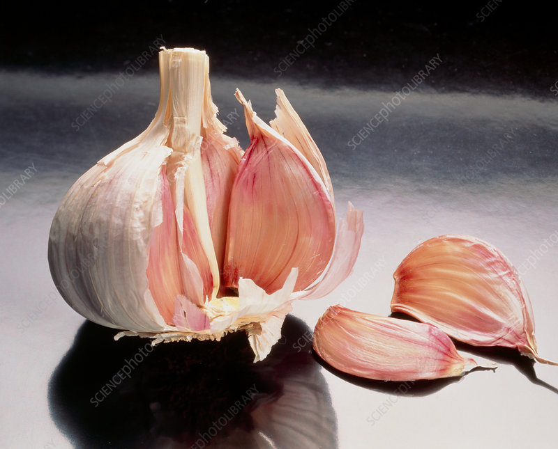 Opened bulb of garlic, Allium sativum