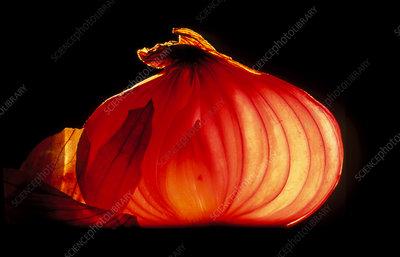 A bulb of onion (Allium cepa) cut in half