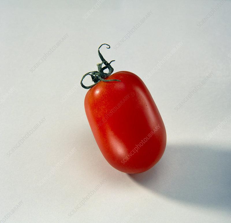 Ripe Plum Tomato, Lycopersicon lycopersicum.