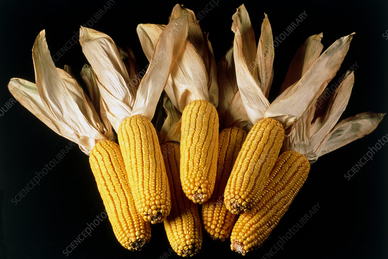 Ears of sweetcorn or maize